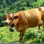 Vache Tarine de Savoie
